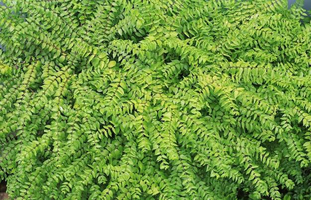 녹색 잎 벽 배경입니다. 장식 잎 텍스처입니다.