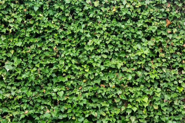 Green leaves wall background, green bush texture