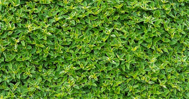 Green leaves wall background, leaf wall nature background,