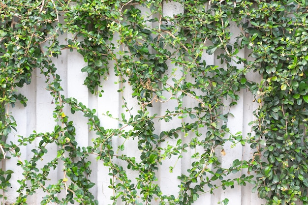Green leaves wall background, vine ivy growing frame
