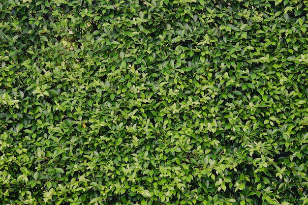 Green leaves wall hedge as background of fresh green wall