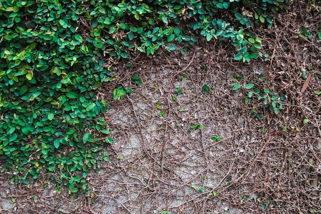 緑の葉の壁のテクスチャと背景。