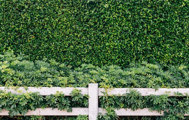 Green leaves wall and white fence background