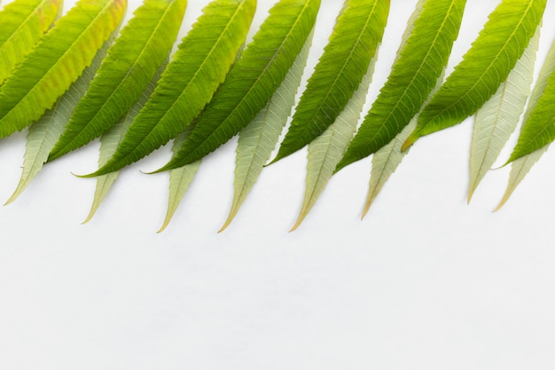 Green leaves on white background at the top of image