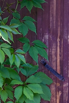 Green leaves of wild grapes on the background of a wooden door with an iron handle.