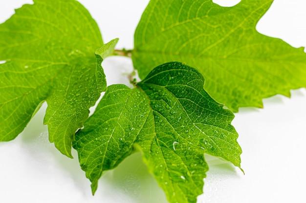 白い背景の上の水の滴を緑の葉。ボード、はがきに適しています。コピースペース。