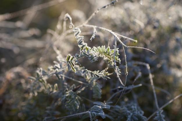 霧氷と緑の葉。霜で低木。秋に初霜。枝に霜。