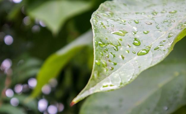 Зеленые листья с каплями дождя. красивый зеленый естественный размытый фон с копией пространства. крупным планом с избирательным акцентом на листья, покрытые капельками росы.