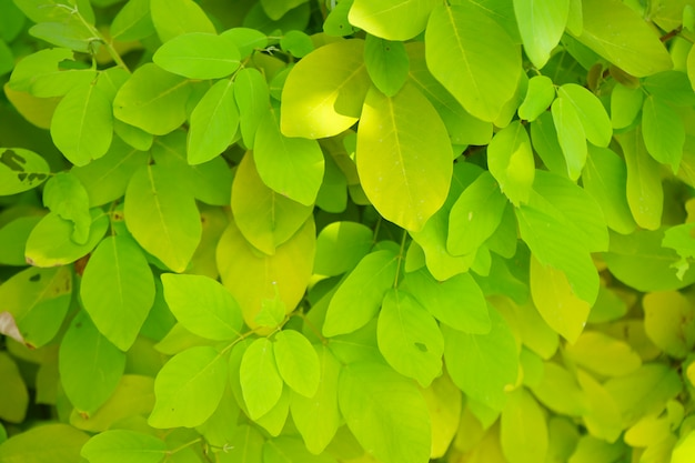 Green leaves and yellow color wih natural daylight in the garden background