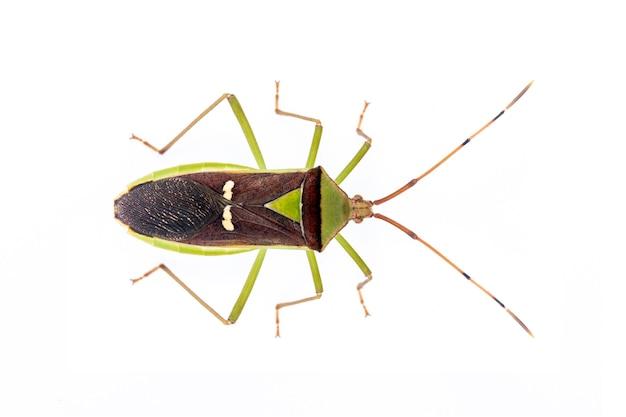 녹색 콩과 식물 포드 bug (hemiptera) 절연입니다. 동물. 곤충.