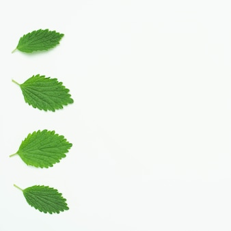 Green lemon balm leaves arranged in a row over white backdrop