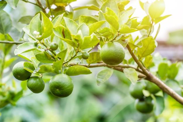 Зеленый лимонный лайм на дереве в саду, свежий зеленый лайм на дереве с легким фоном боке