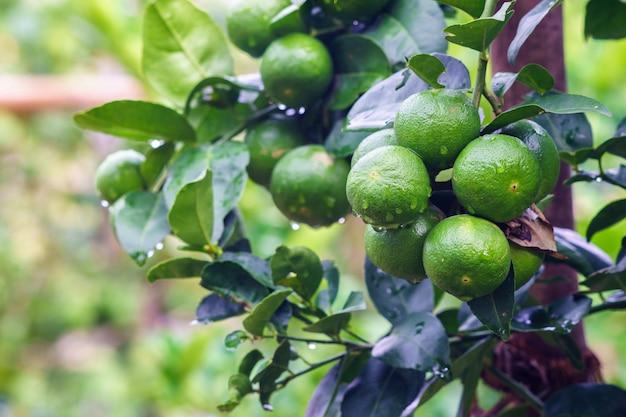 Green lemon tree in the farm.