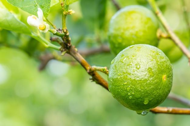 Green lemons (limes) on branch.