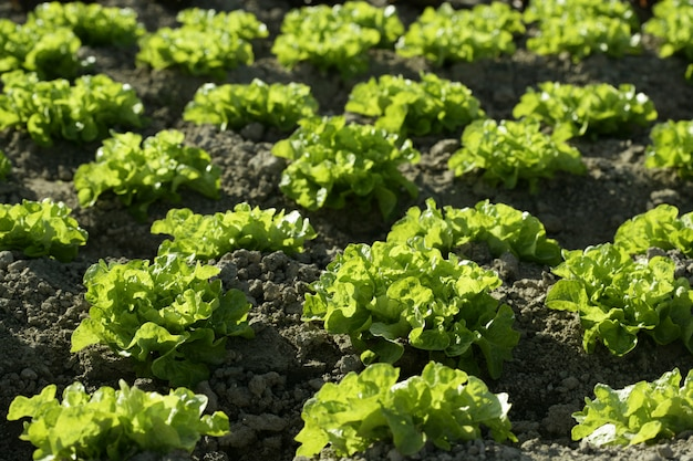 Green lettuce country