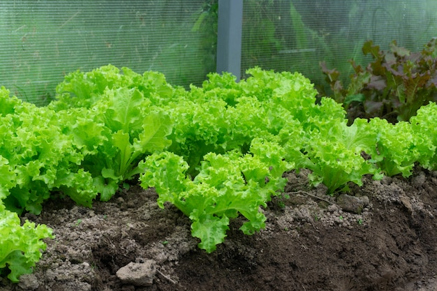 Green lettuce in the garden in the greenhouse. growing lettuce and vegetables on a farm in a greenhouse in the summer. agriculture and healthy food concept.