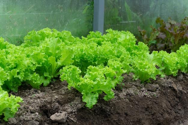 温室の庭で緑のレタス。夏には温室の農場でレタスと野菜を育てる。農業と健康食品のコンセプトです。