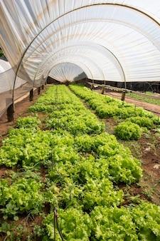 Плантации зеленого салата в теплице