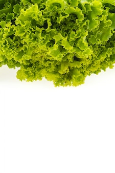 녹색 양상추