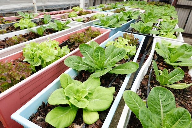 Green lettuces in farm