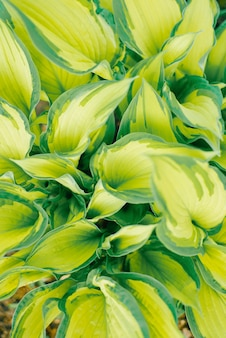Green and light green flowers hosts close up