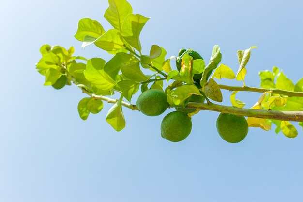 Green lime fruits on green tree against blue sky. close up