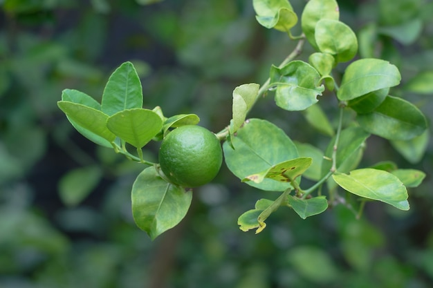 Green lime on tree with fruits closeup