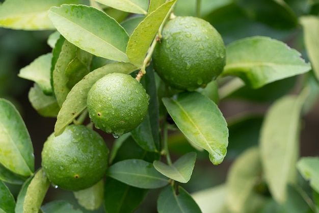 Green limes in a branch close up