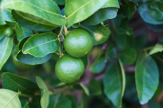 Green limes lemon on the tree branch.