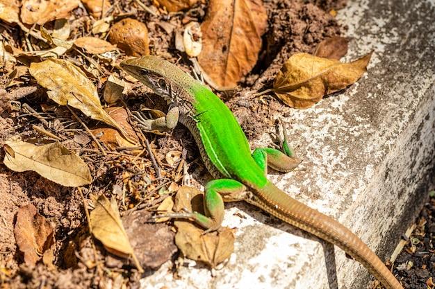 Green lizard (ameiva ameiva) sunbathing..