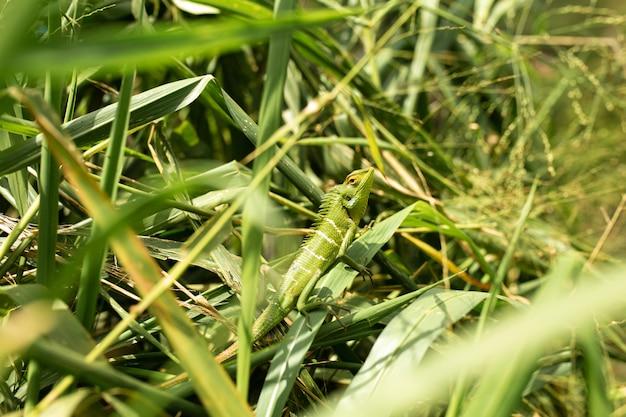 Green lizard basking in the sun in green grass