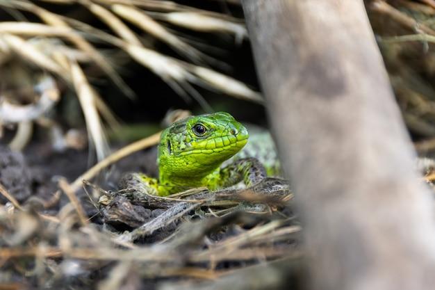 Green lizard on the grass
