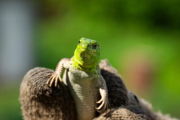 Green lizard in the grass