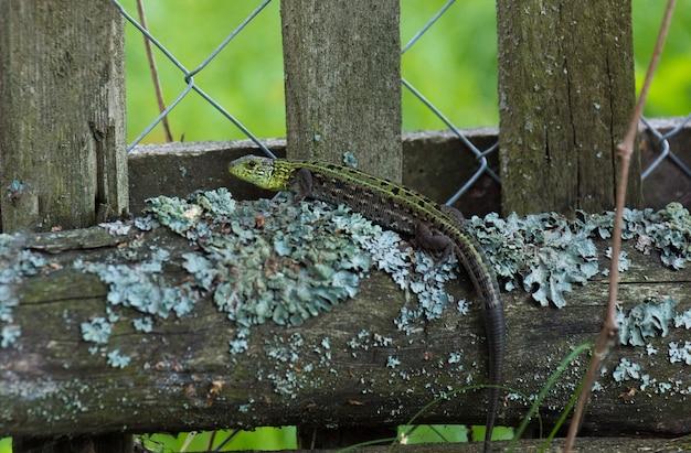 Green lizard on a log