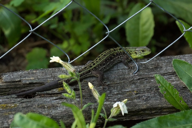 Green lizard on log