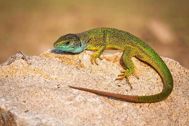 Green lizard lying on a stone and basking in the sun