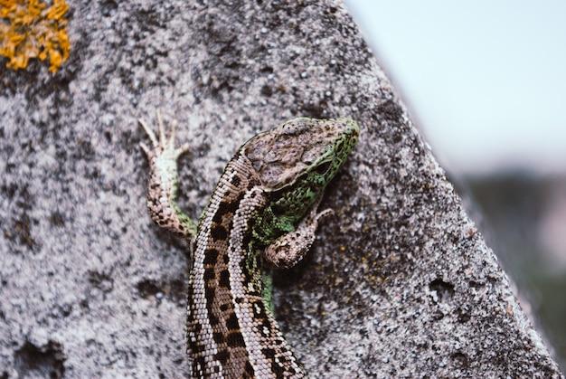 Green lizard macro, close up.