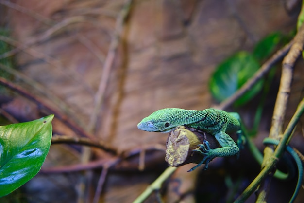 Зеленая ящерица на ветке дерева с размытым фоном
