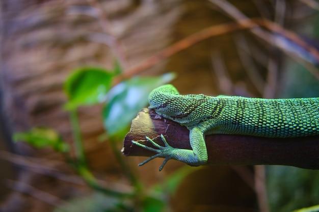 背景をぼかした写真を木の枝に緑のトカゲ