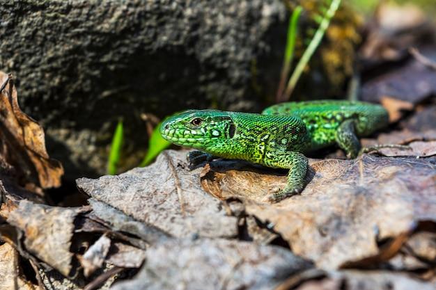 Green lizard on the stone