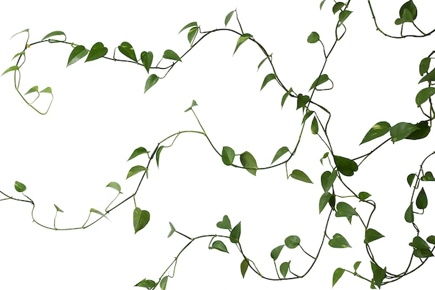 Green long weaving plant on a white background