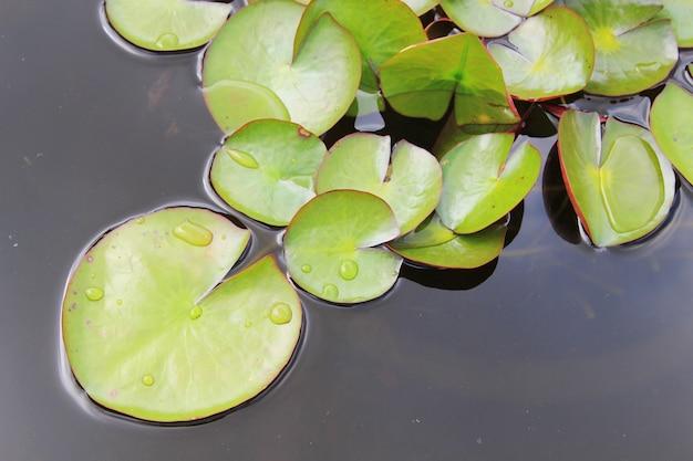 Green lotus leaves