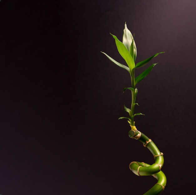 Green lucky bamboo or dracena houseplant close up against the black background with empty space for text.