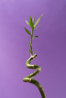 Green lucky bamboo or dracena houseplant close up against the purple background with empty space for text.
