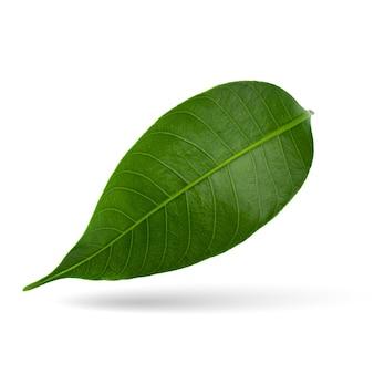 白で分離された緑のライチの葉