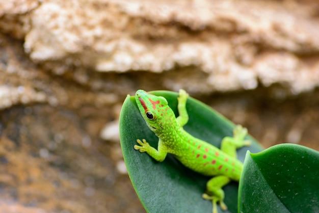 A green madagascar gecko (phelsuma grandis) crawls at the end of a leaf.