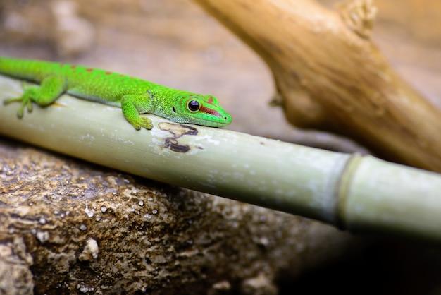 The green madagascar gecko (phelsuma grandis) lies on a bamboo pole.