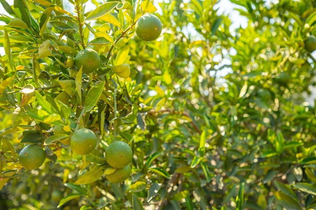 トルコのアンタルヤにあるカライン洞窟の近くの庭の木にある緑のミカンの果実