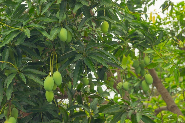 Green mango fruit on the branches.