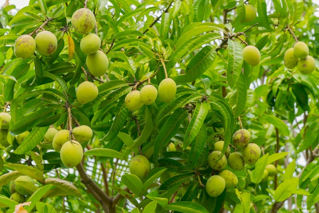 Green mango fruits on the branches of mango tree.